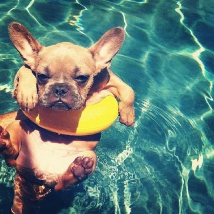 french dog pool