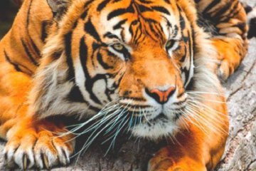 tiger daily fresh baked