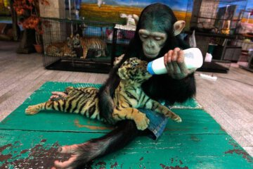 monkey feeding a baby tiger. Awesome Photography from Around the Internet